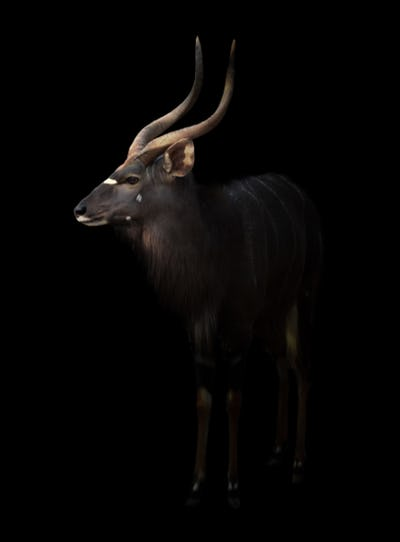 male nyala standing in the dark