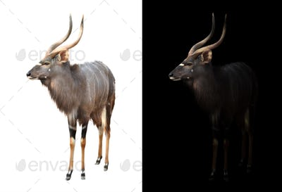 male nyala on dark and white background