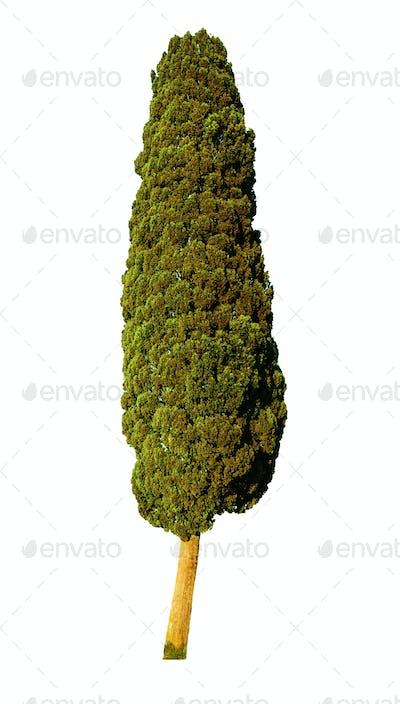 Italian Cypress Tree isolated on white background.
