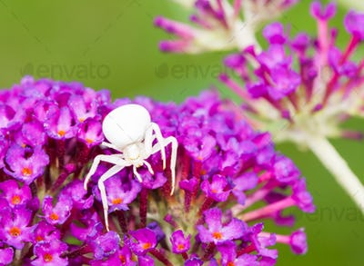 White crab spider on purple buddleia blossoms