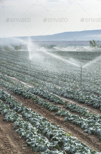 Watering cabbage with sprinklers