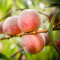 Ripe peaches fruits on a branch