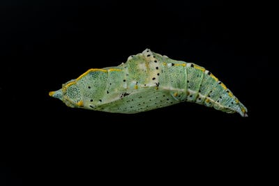 Colored butterfly pupa on a black background