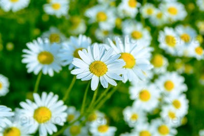 Summer meadow of blooming daisies, selective focus