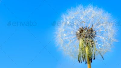 Dandelion white globular head of seeds on the blue sky backgroun