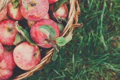 Basket with apples harvest in garden, top view