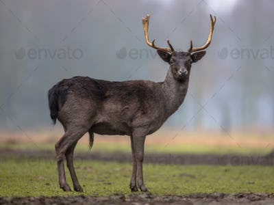 Dark colored male Fallow deer