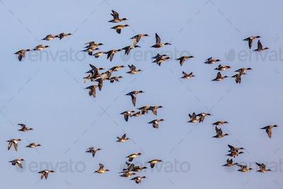 Flock of different species of duck