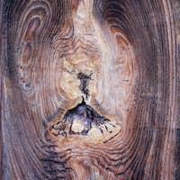 Bizarre knot in wood - wooden texture