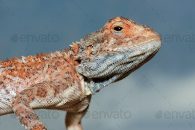 Ground agama portrait
