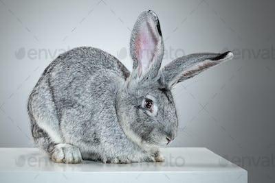 European rabbit or common