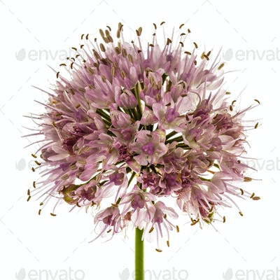 Inflorescence  of decorative onion, ornamental allium flowers,