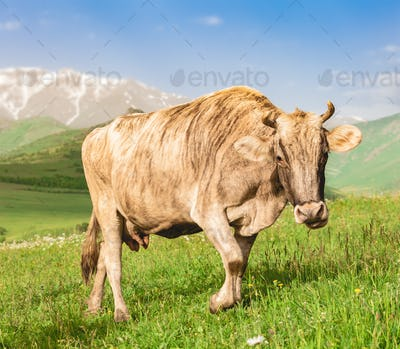 Cow grazing on green meadow