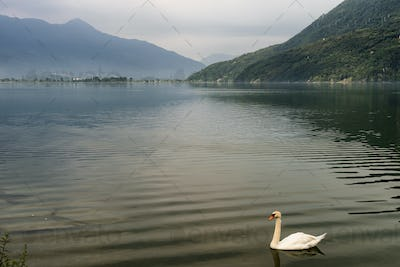 Swans in the Mezzola lake (Italy)