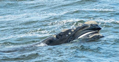 Baleen Whale Surfaces