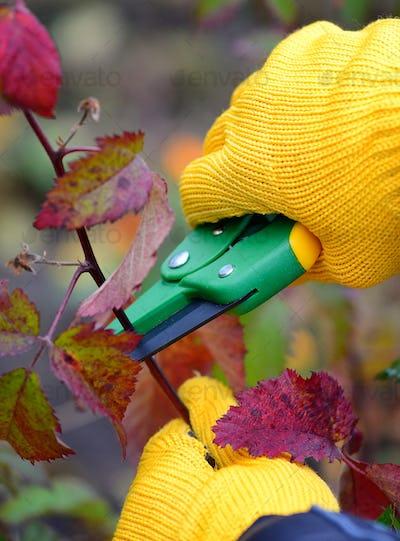 Hands with gloves of gardener doing maintenance work, pruning bu