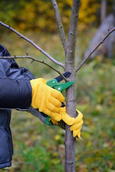 Hands with gloves of gardener doing maintenance work, pruning tr