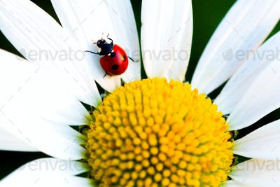Beetle Ladybug and chamomile flower