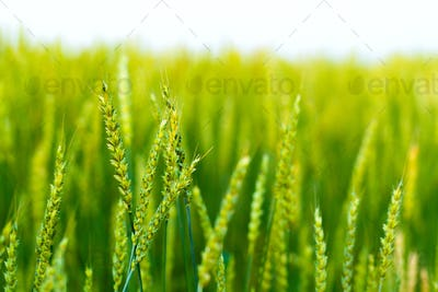 Spikes of barley against the background of green field