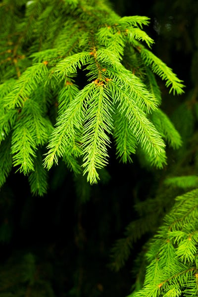 Green Fir tree branch