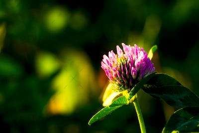 The flowers of clover on a background of green grass