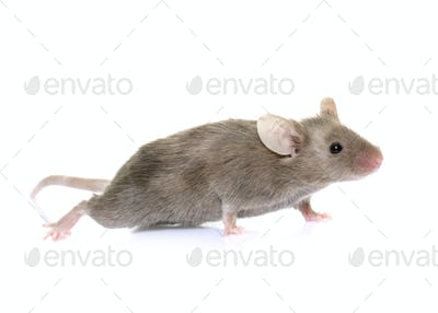 gray mouse in studio