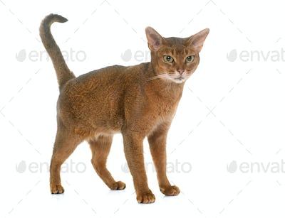 Abyssinian cat in studio