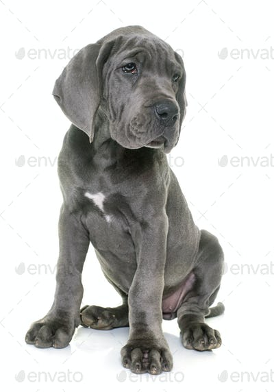 puppy great dane