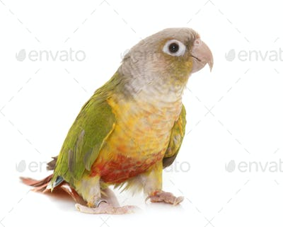 conure in studio