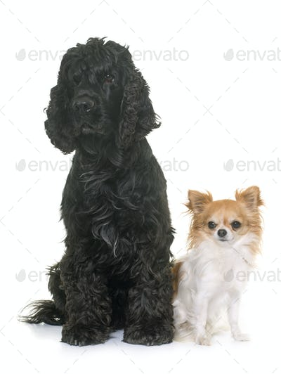 black american cocker and chihuahua