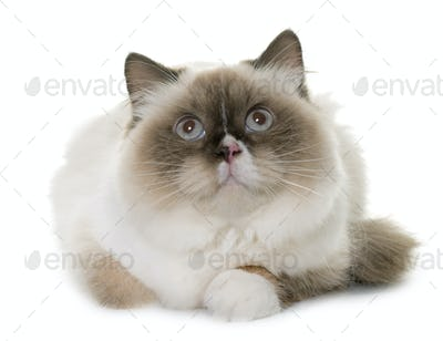 english longhair cat