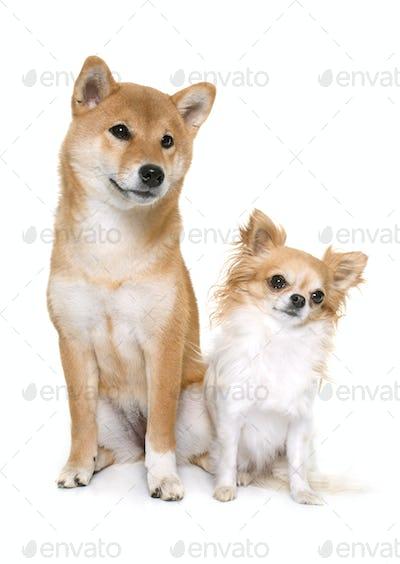 young shiba inu and chihuahua