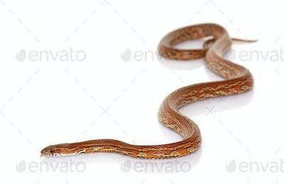 corn snake in studio