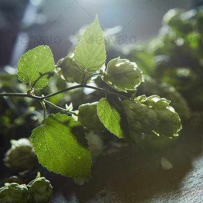 Hop cones with leaves
