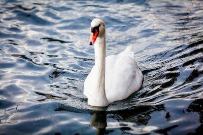 White Swan on the Lake.  Swan on water. Mute swan