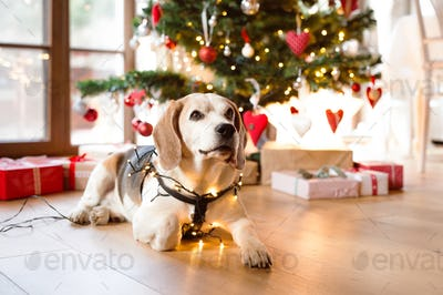 Beagle dog in front of illuminated Christmas tree.