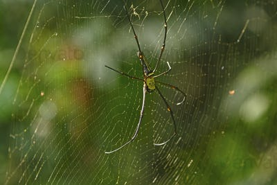 Golden Orb Spider in India