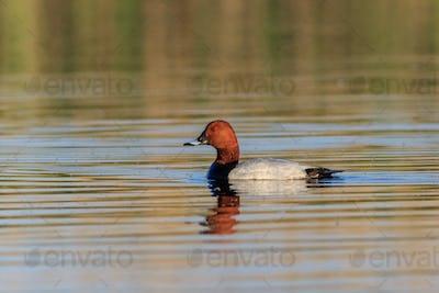 Ferruginous Duck on a lake