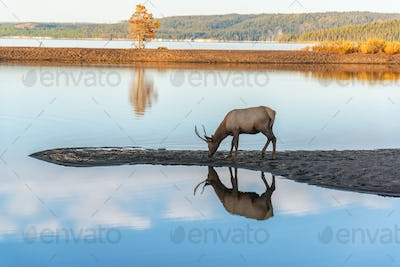 Young Elk Reflected in Lake