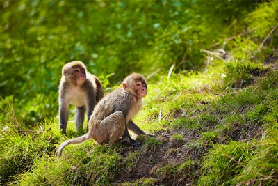 Rhesus macaques in India