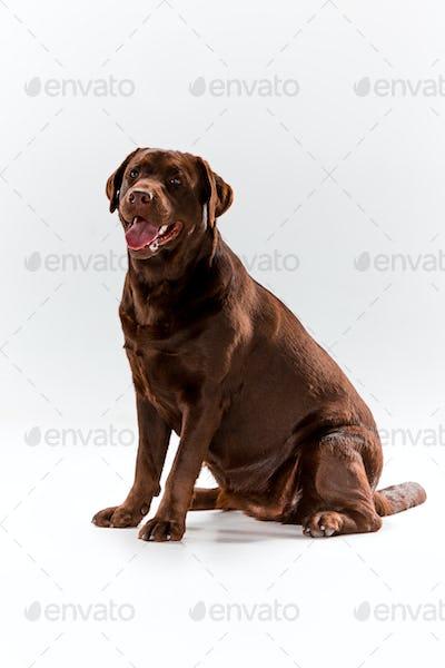 The brown labrador retriever on white