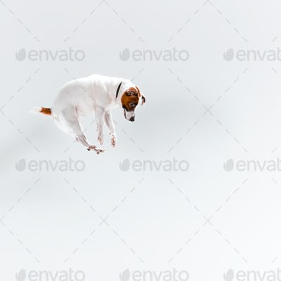 Small Jack Russell Terrier on white