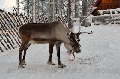 Winter deer at the tree