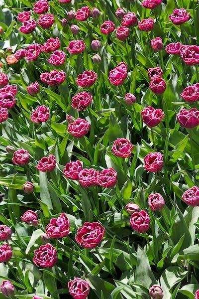 Flowers in Keukenhof park, Netherlands.