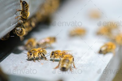 bees and beehive
