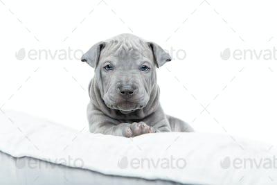 Thai ridgeback puppy isolated on white