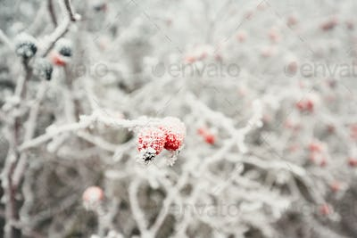 Rose hip under ice crystals