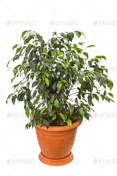 Ficus benjamina isolated on white background