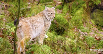 Beautiful european lynx cub walking in the forest