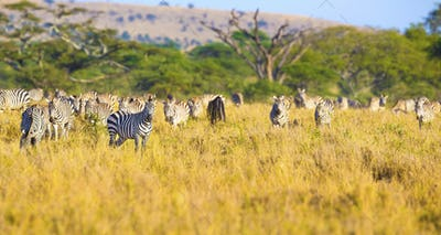 Large herd of zebras eating grass in Serengeti Africa